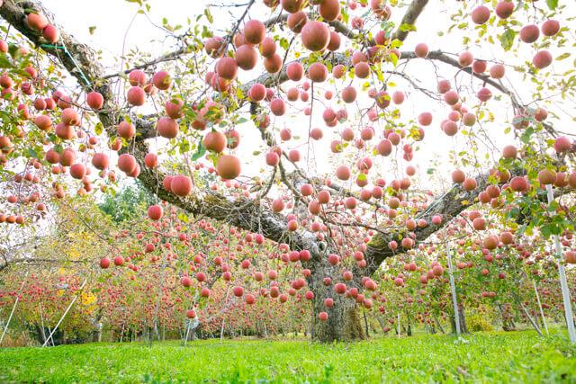 りんごが降ってくる